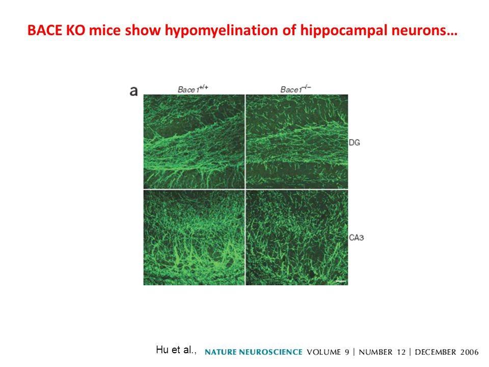 Hu et al., BACE KO mice show hypomyelination of hippocampal neurons…