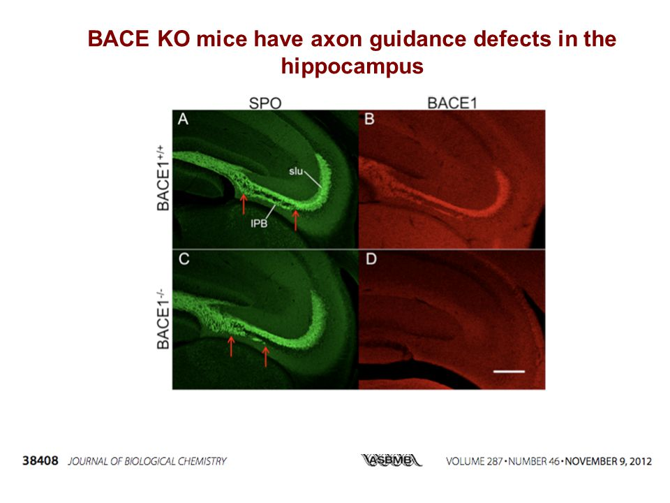 BACE KO mice have axon guidance defects in the hippocampus