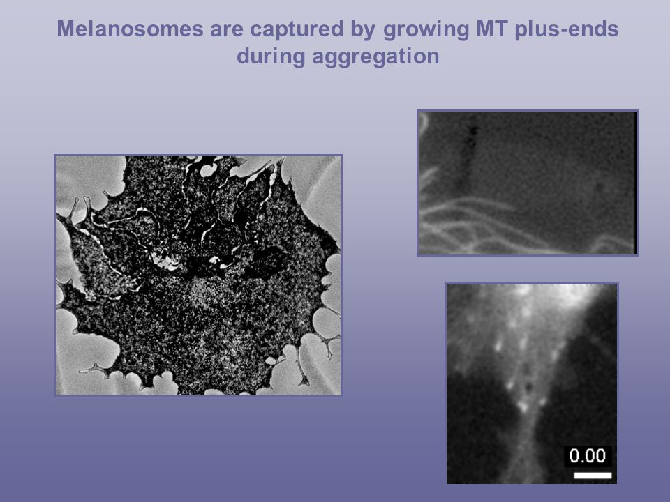 Melanosomes are captured by growing MT plus-ends during aggregation