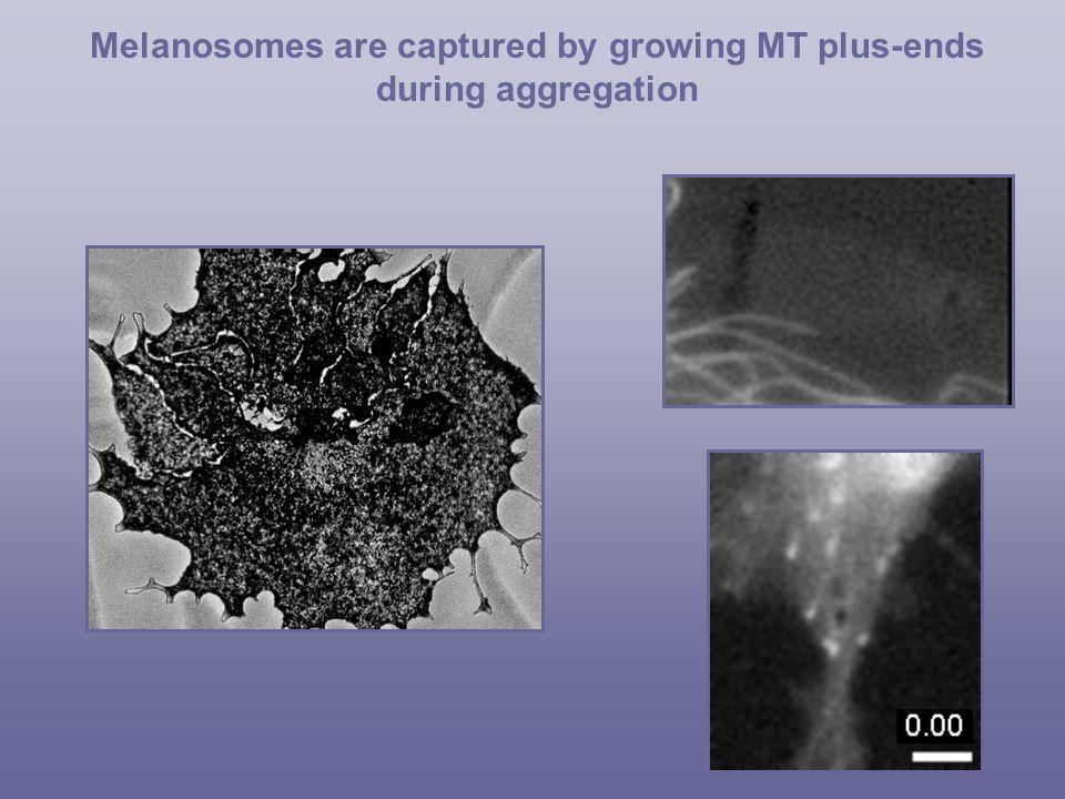 Dispersion High cAMP Actin Filaments Granule M D K