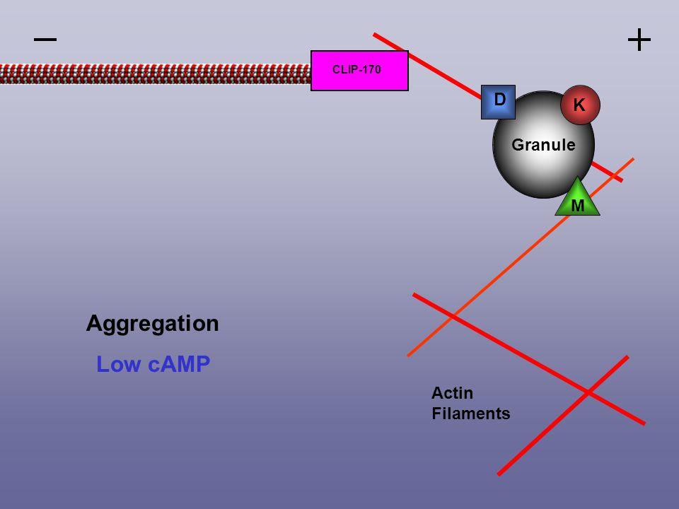 Aggregation Low cAMP Actin Filaments Granule M D K CLIP-170