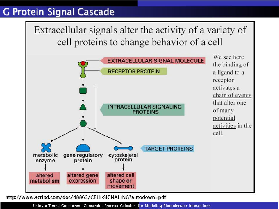 G Protein Signal Cascade Using a Timed Concurrent Constraint Process Calculus for Modeling Biomolecular Interactions http://www.scribd.com/doc/48863/CELL-SIGNALING autodown=pdf
