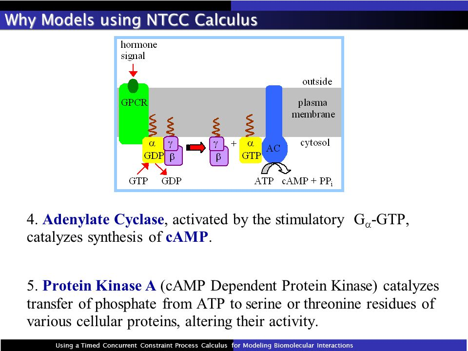 4. Adenylate Cyclase, activated by the stimulatory G  -GTP, catalyzes synthesis of cAMP.