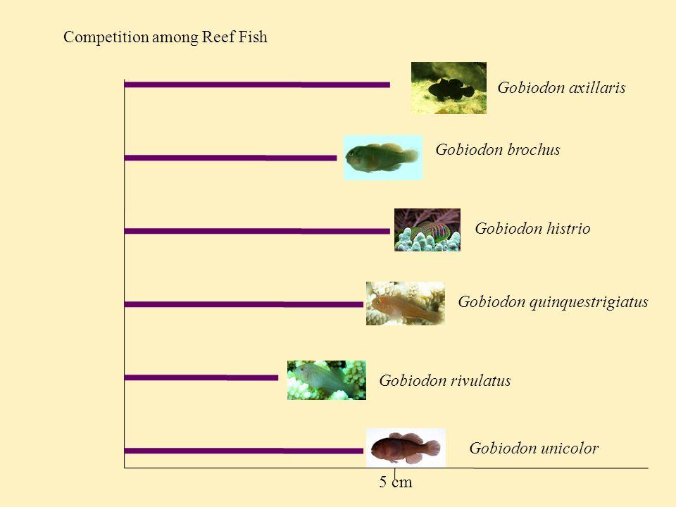 Competition among Reef Fish Gobiodon axillaris Gobiodon unicolor Gobiodon rivulatus Gobiodon brochus Gobiodon histrio Gobiodon quinquestrigiatus 5 cm