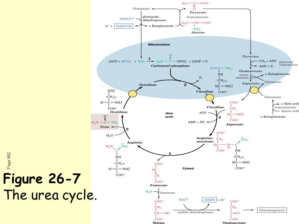 Page 992 Figure 26-7 The urea cycle.