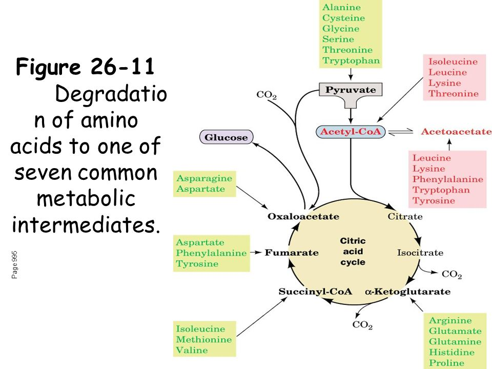 Figure 26-11 Degradatio n of amino acids to one of seven common metabolic intermediates. Page 995