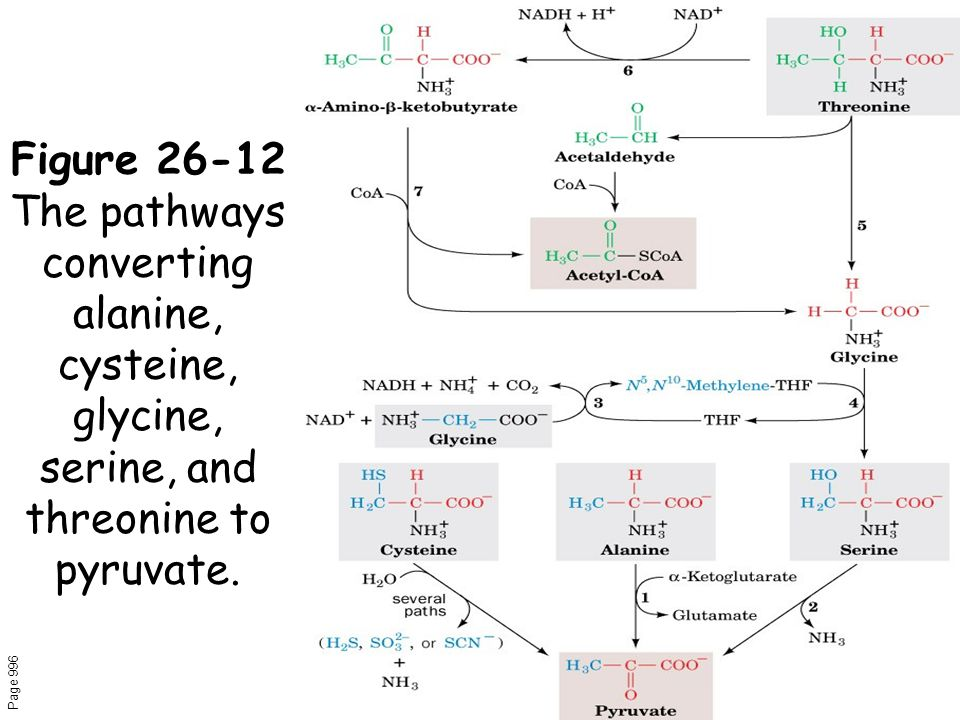 Figure 26-12 The pathways converting alanine, cysteine, glycine, serine, and threonine to pyruvate.