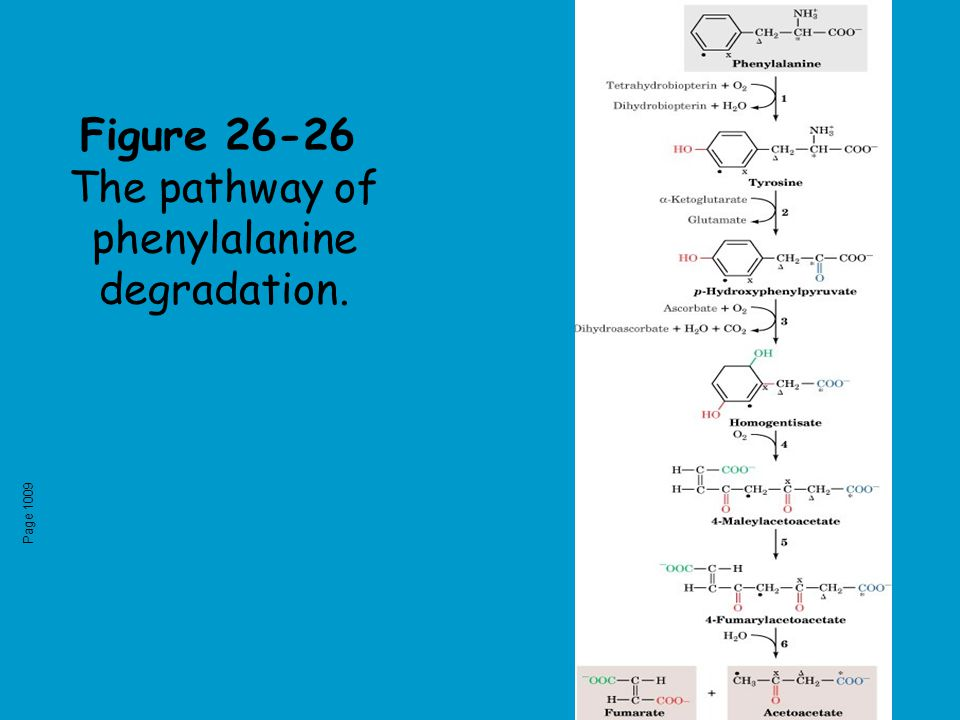 Figure 26-26 The pathway of phenylalanine degradation. Page 1009