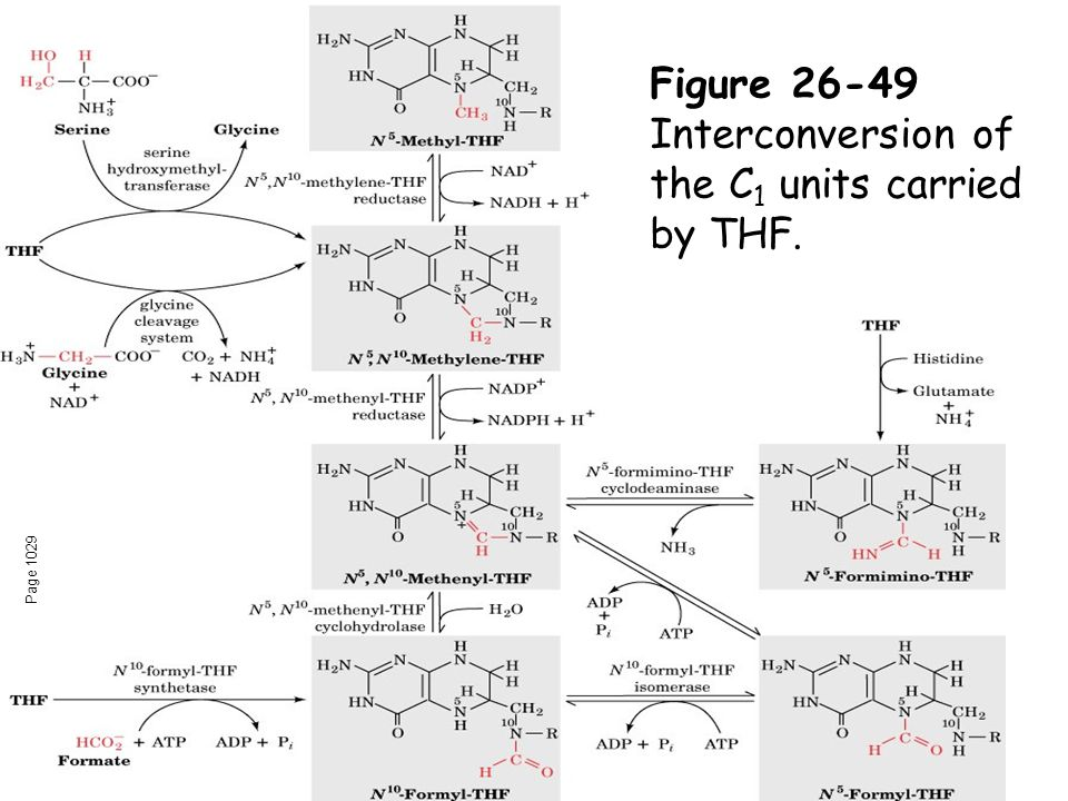 Page 1029 Figure 26-49 Interconversion of the C 1 units carried by THF.