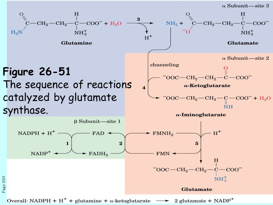 Page 1031 Figure 26-51 The sequence of reactions catalyzed by glutamate synthase.