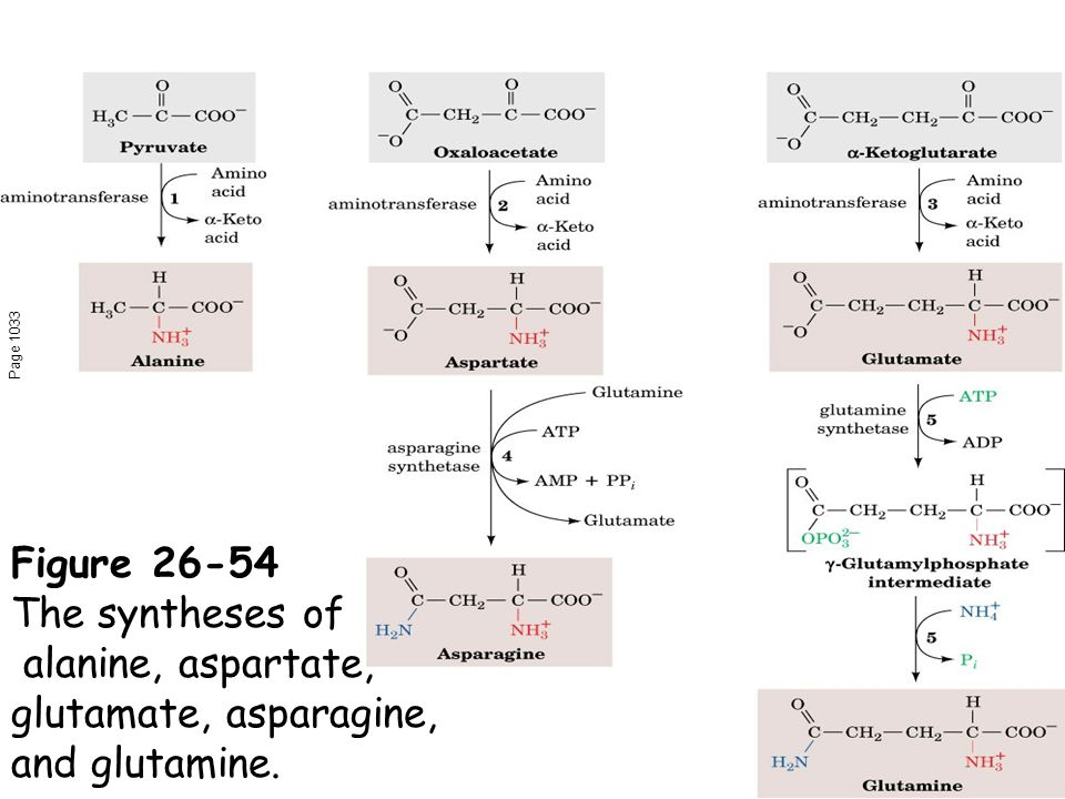 Page 1033 Figure 26-54 The syntheses of alanine, aspartate, glutamate, asparagine, and glutamine.