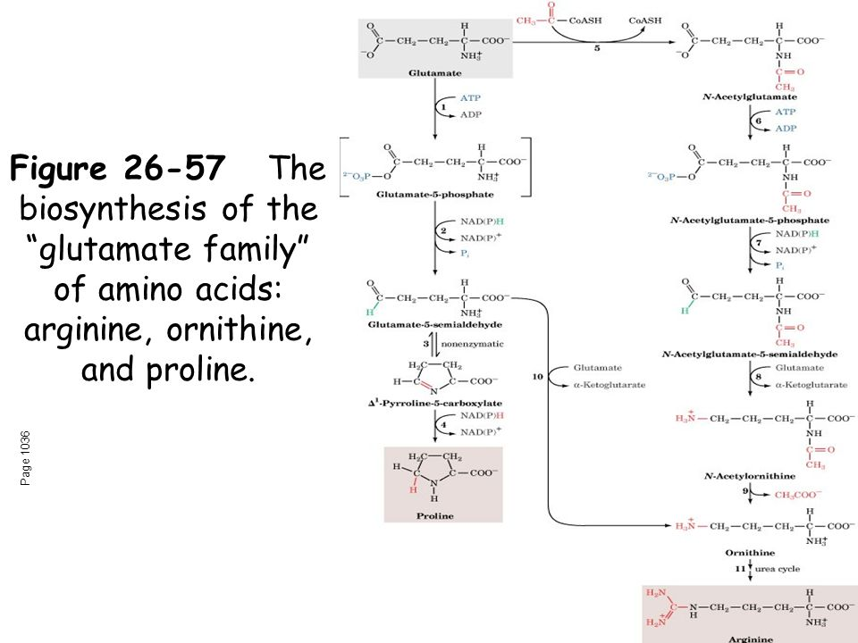 Figure 26-57The biosynthesis of the glutamate family of amino acids: arginine, ornithine, and proline.