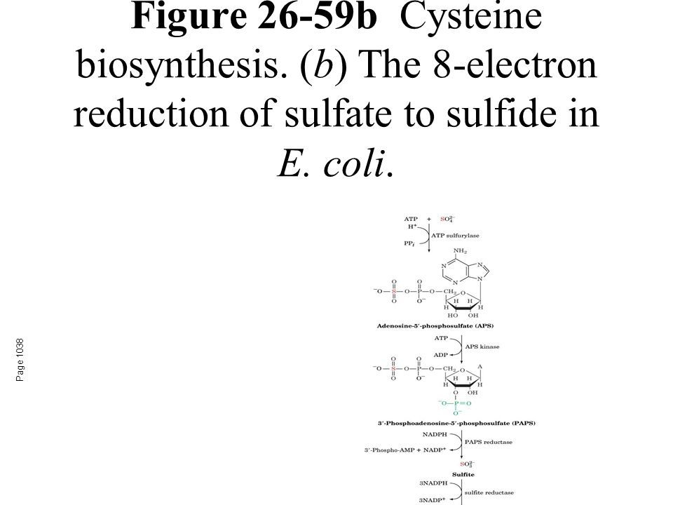Figure 26-59bCysteine biosynthesis. (b) The 8-electron reduction of sulfate to sulfide in E.