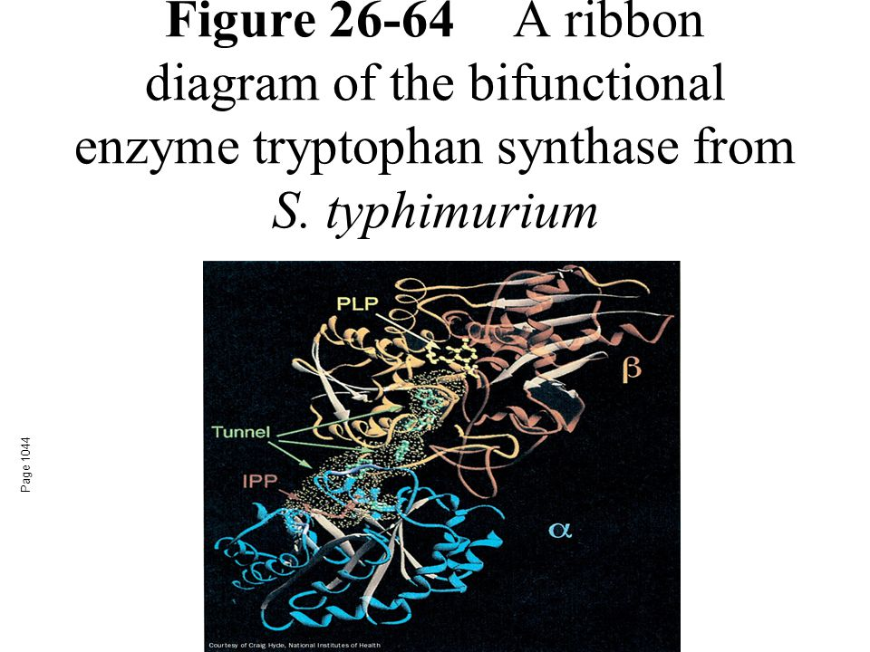 Figure 26-64A ribbon diagram of the bifunctional enzyme tryptophan synthase from S. typhimurium Page 1044