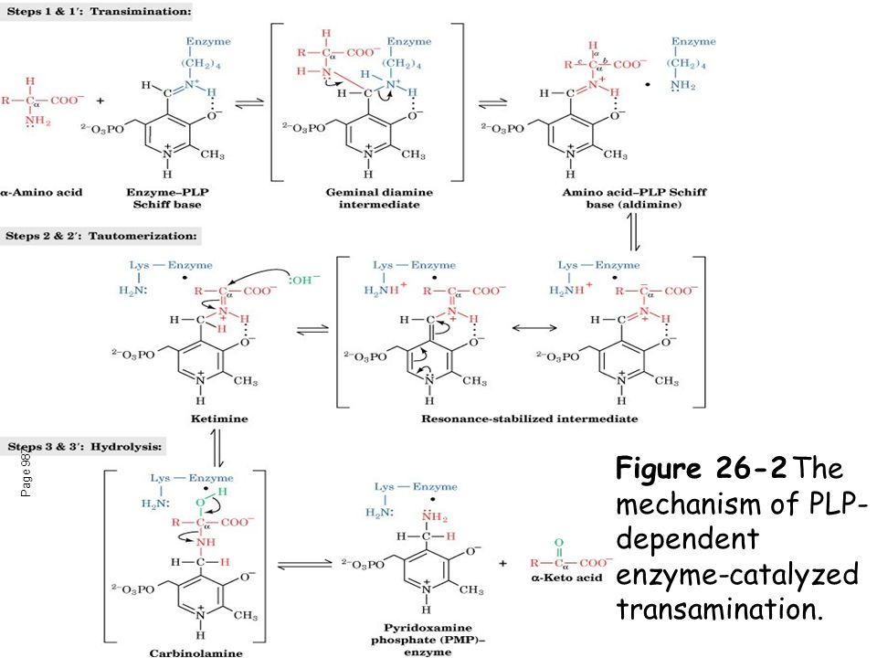 Page 987 Figure 26-2The mechanism of PLP- dependent enzyme-catalyzed transamination.