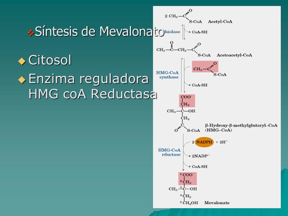  Síntesis de Mevalonato  Citosol  Enzima reguladora HMG coA Reductasa