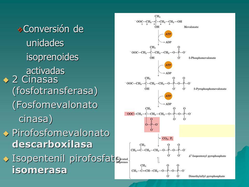  Conversión de unidades unidades isoprenoides isoprenoides activadas activadas  2 Cinasas (fosfotransferasa) (Fosfomevalonato cinasa) cinasa)  Piro