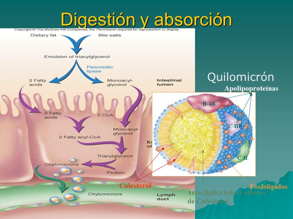Digestión y absorción Fosfolípidos Triacilgliceroles y ésteres de Colesterol. B-48 C-III C-II Apolipoproteínas Colesterol Quilomicrón