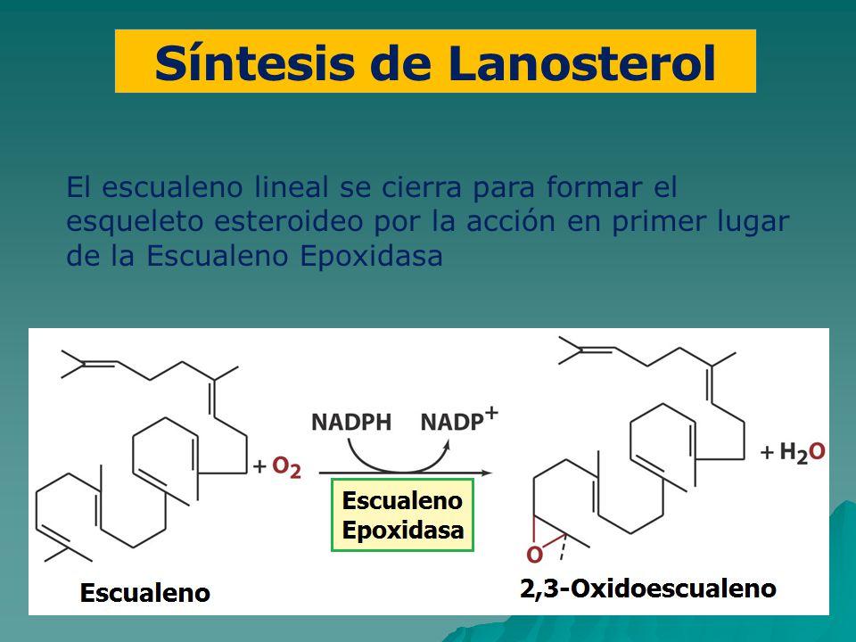 Síntesis de Lanosterol El escualeno lineal se cierra para formar el esqueleto esteroideo por la acción en primer lugar de la Escualeno Epoxidasa