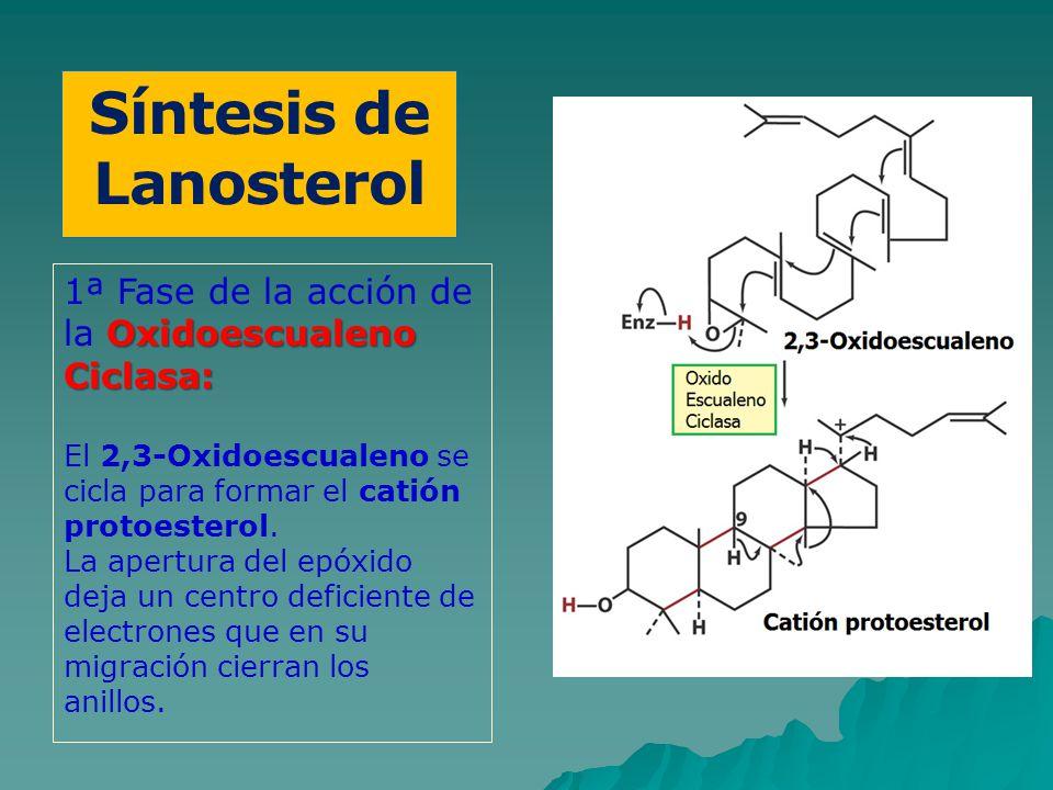 Síntesis de Lanosterol Oxidoescualeno Ciclasa: 1ª Fase de la acción de la Oxidoescualeno Ciclasa: El 2,3-Oxidoescualeno se cicla para formar el catión