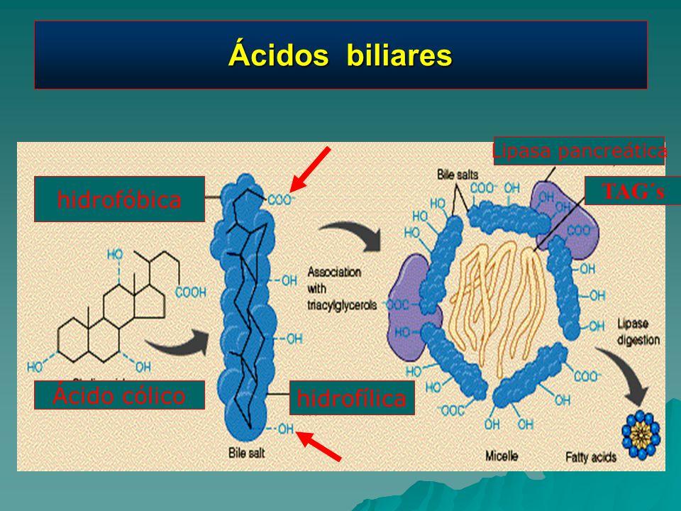 Ácidos biliares hidrofóbica hidrofílica Ácido cólico Lipasa pancreática TAG´s