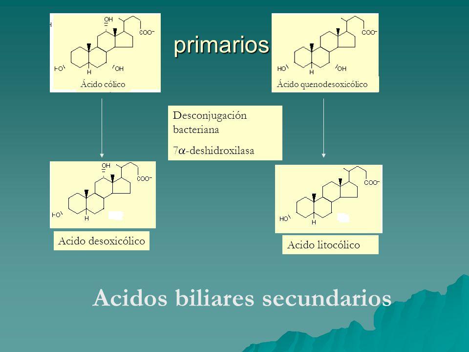 primarios Acidos biliares secundarios Ácido quenodesoxicólicoÁcido cólico Desconjugación bacteriana 7  -deshidroxilasa Acido desoxicólico Acido litoc