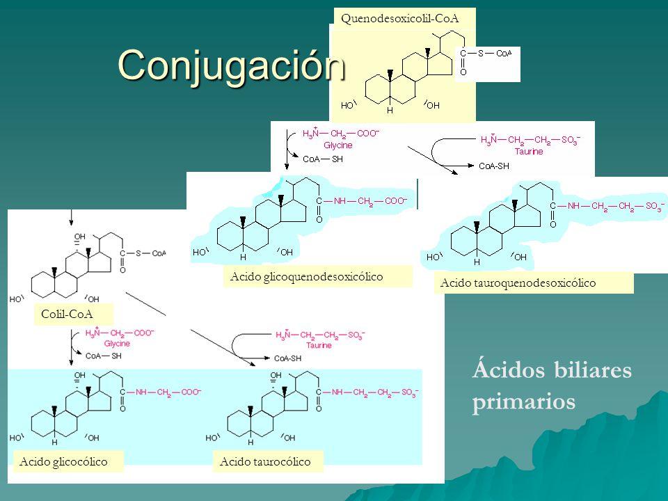 Conjugación Colil-CoA Quenodesoxicolil-CoA Acido glicocólicoAcido taurocólico Acido glicoquenodesoxicólico Acido tauroquenodesoxicólico Ácidos biliare