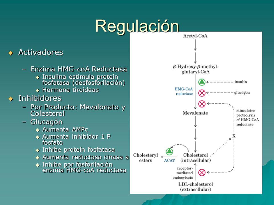 Regulación  Activadores –Enzima HMG-coA Reductasa  Insulina estimula protein fosfatasa (desfosforilación)  Hormona tiroideas  Inhibidores –Por Pro