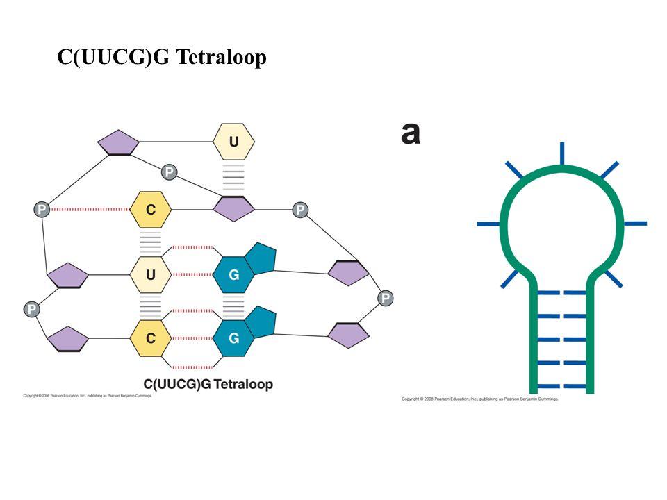 C(UUCG)G Tetraloop