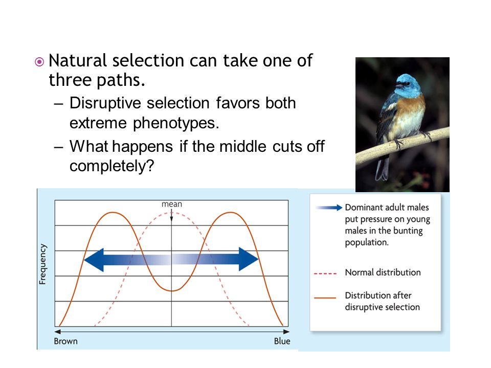 –Disruptive selection favors both extreme phenotypes. –What happens if the middle cuts off completely?