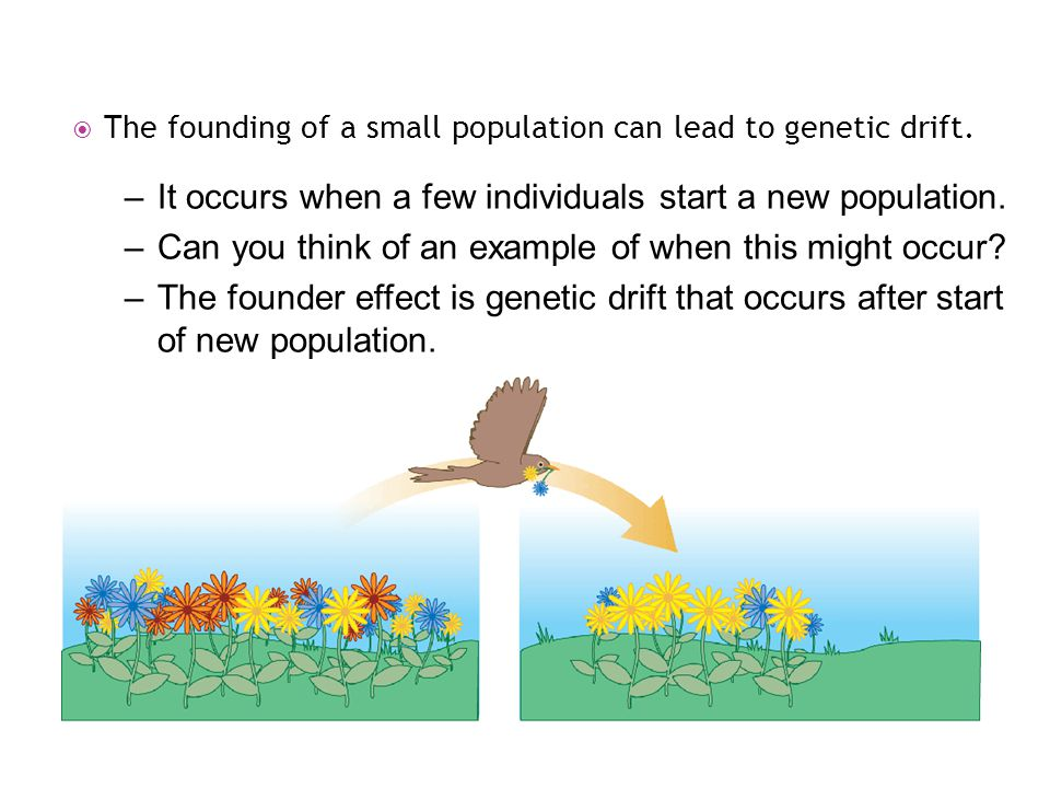  The founding of a small population can lead to genetic drift. –It occurs when a few individuals start a new population. –Can you think of an example