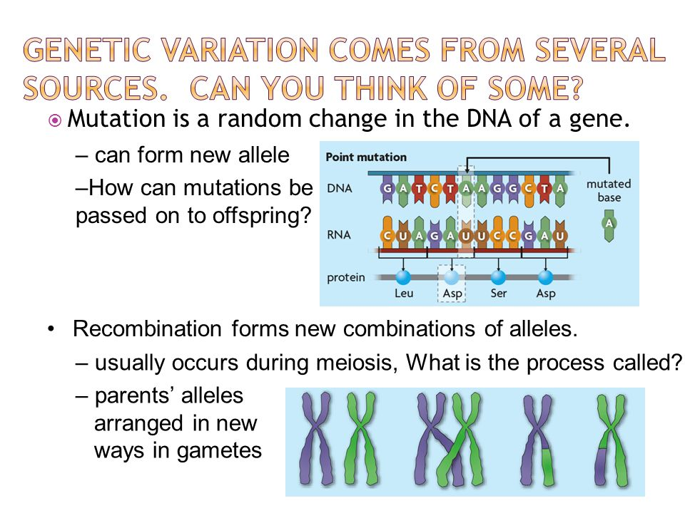  Mutation is a random change in the DNA of a gene. Recombination forms new combinations of alleles. – can form new allele –How can mutations be passe
