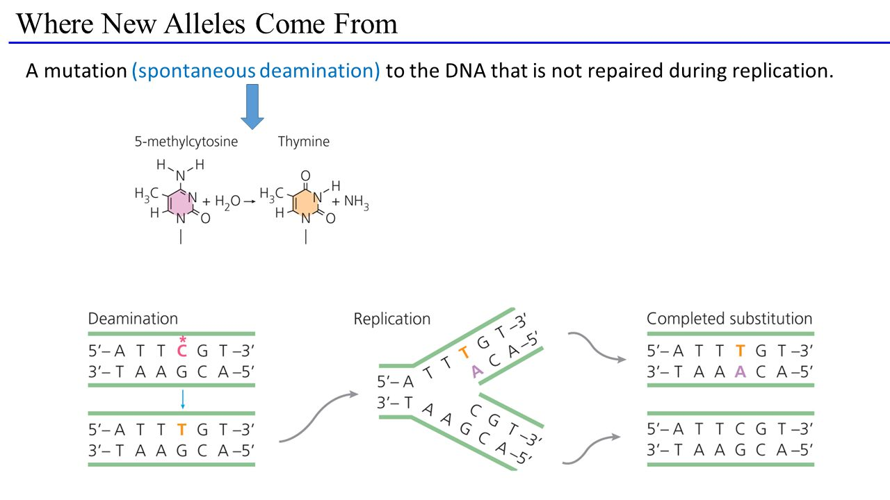 Where New Alleles Come From A mutation (spontaneous deamination) to the DNA that is not repaired during replication.