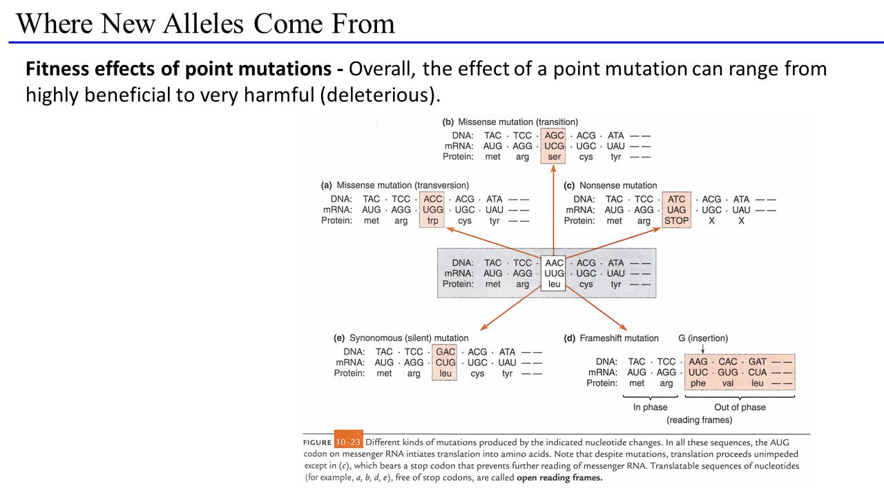 Where New Alleles Come From Fitness effects of point mutations - Overall, the effect of a point mutation can range from highly beneficial to very harmful (deleterious).