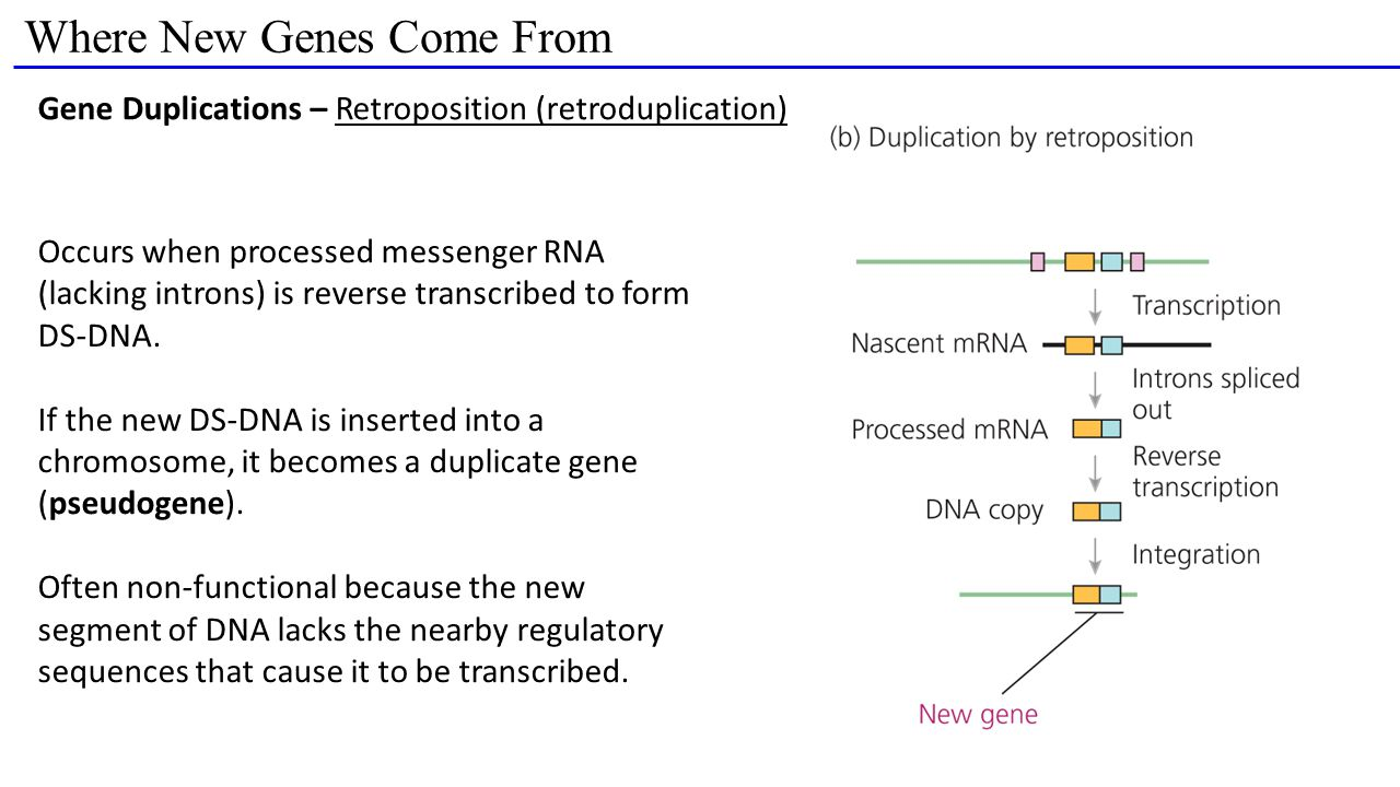 Where New Genes Come From Gene Duplications – Retroposition (retroduplication) Occurs when processed messenger RNA (lacking introns) is reverse transcribed to form DS-DNA.