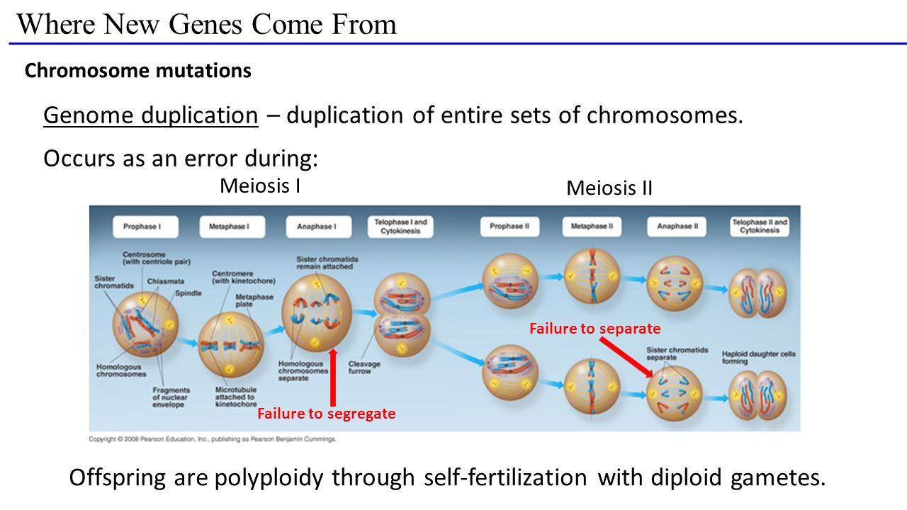 Where New Genes Come From Chromosome mutations Genome duplication – duplication of entire sets of chromosomes.