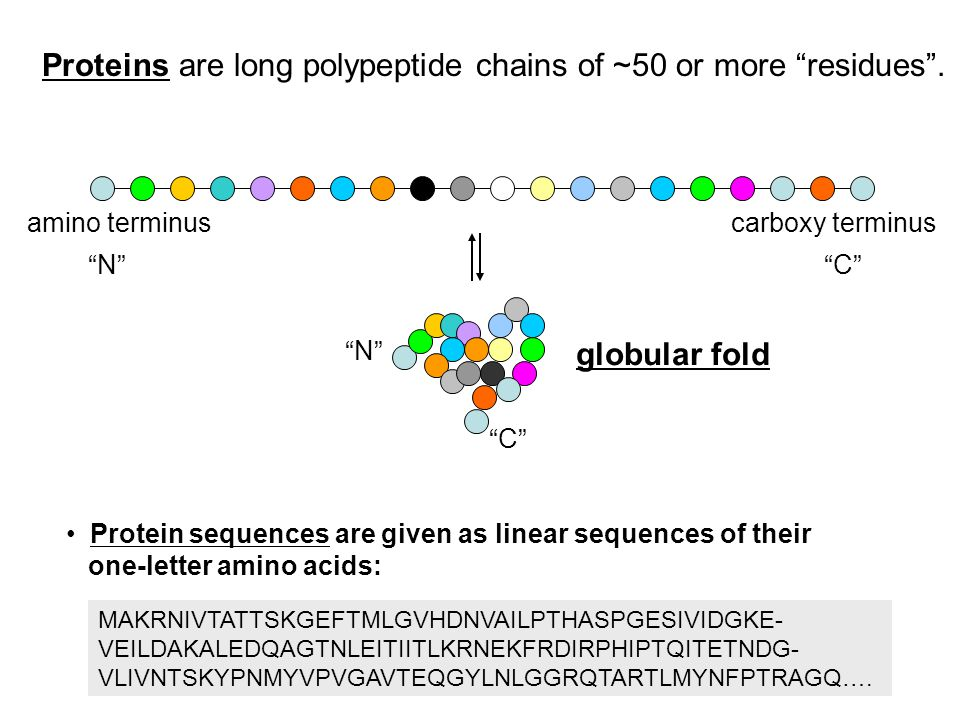 Proteins are typically globular in shape myoglobin (17 kDa)