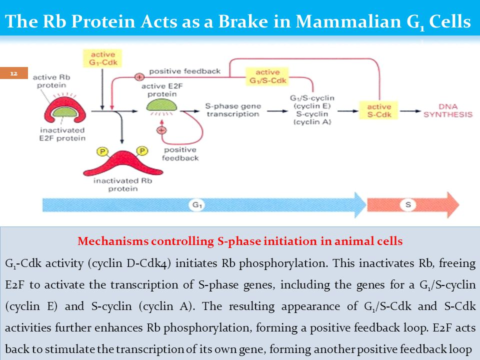 Dr Gihan Gawish 11  Mammalian cells are thought to express a cyclin-kinase inhibitor (CKI) that functions like S.