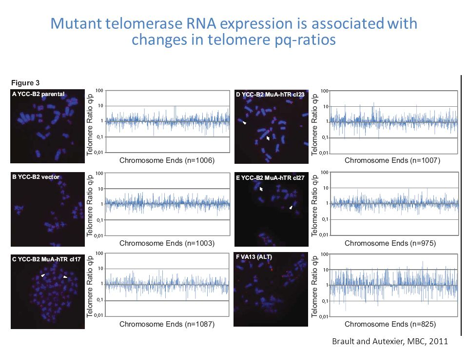 Mutant telomerase RNA expression is associated with changes in telomere pq-ratios Brault and Autexier, MBC, 2011