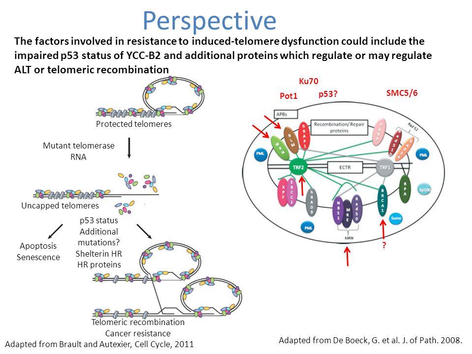 Perspective Protected telomeres Mutant telomerase RNA Apoptosis Senescence Telomeric recombination Cancer resistance p53 status Additional mutations.