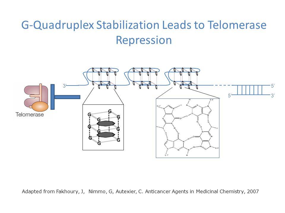 G-Quadruplex Stabilization Leads to Telomerase Repression 5' 3' G G G G G G G G G G G G Adapted from Fakhoury, J, Nimmo, G, Autexier, C.