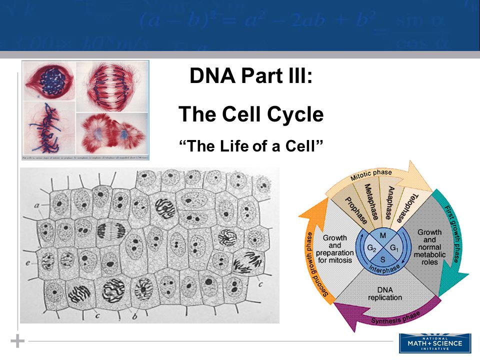 "DNA Part III: The Cell Cycle ""The Life of a Cell"""