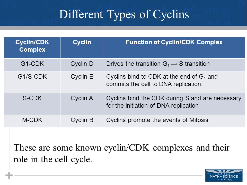 17 Different Types of Cyclins These are some known cyclin/CDK complexes and their role in the cell cycle. Cyclin/CDK Complex CyclinFunction of Cyclin/