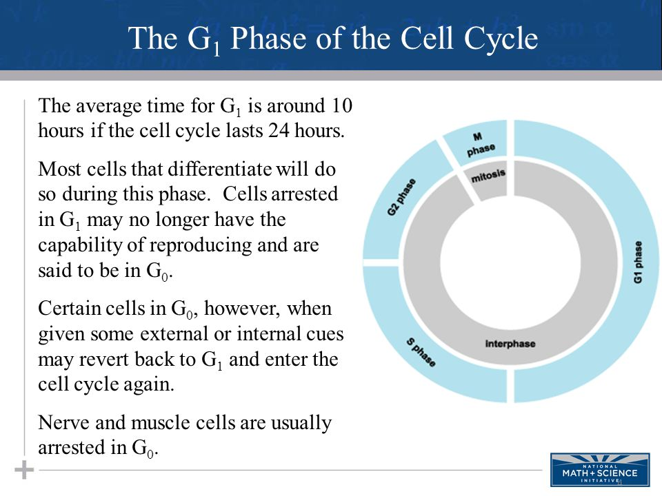 4 The average time for G 1 is around 10 hours if the cell cycle lasts 24 hours. Most cells that differentiate will do so during this phase. Cells arre