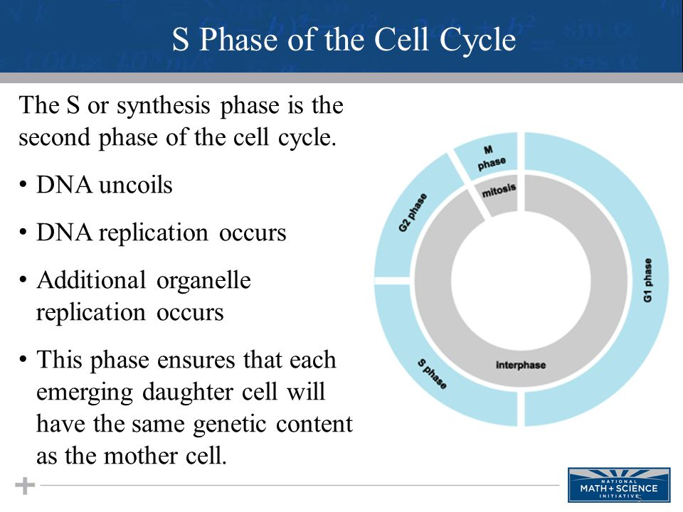 5 The S or synthesis phase is the second phase of the cell cycle. DNA uncoils DNA replication occurs Additional organelle replication occurs This phas