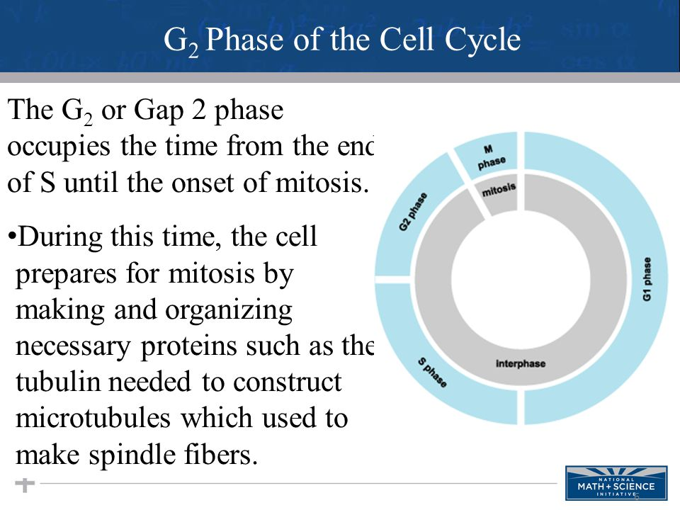 6 The G 2 or Gap 2 phase occupies the time from the end of S until the onset of mitosis. During this time, the cell prepares for mitosis by making and