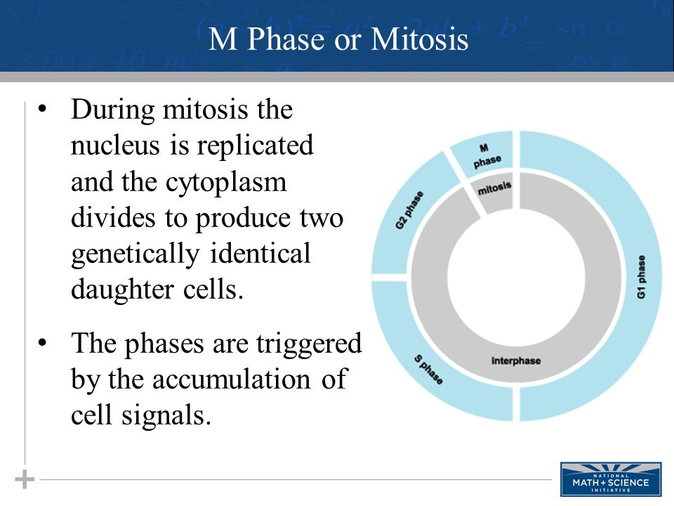 During mitosis the nucleus is replicated and the cytoplasm divides to produce two genetically identical daughter cells. The phases are triggered by th