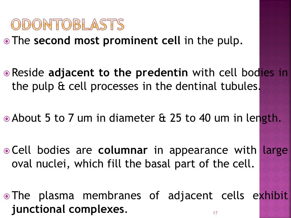  The second most prominent cell in the pulp.  Reside adjacent to the predentin with cell bodies in the pulp & cell processes in the dentinal tubules