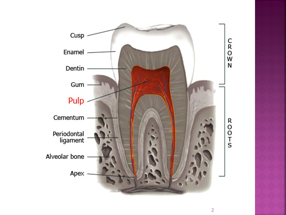  Do not exhibit dentinal tubules. Appear as concentric layers of calcified tissue.