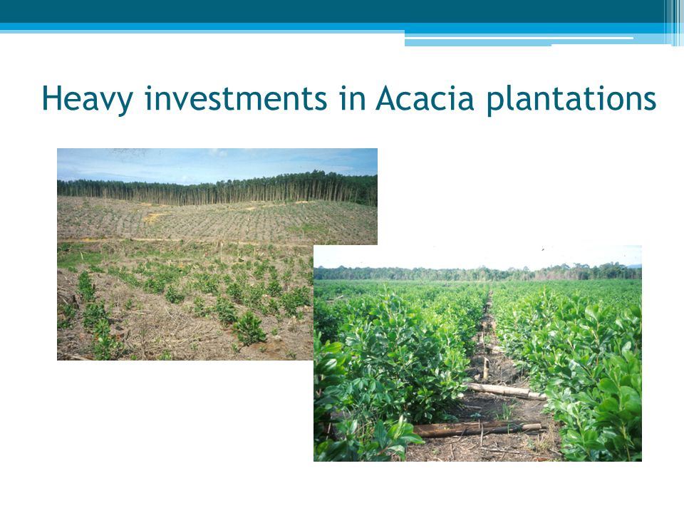 Heavy investments in Acacia plantations